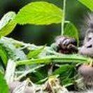 Uganda/Ruanda Reisetipps / Der Lebensraum von Berggorillas ist auf zwei kleine Gebiete im östlichen Afrika beschränkt und im Zoo werden Sie keine finden. Bleibt nur der Parc National des Volcans in Ruanda für das einzigartige Erlebnis, die majestätischen Silberrücken in freier Wildbahn zu finden. Unsere Zugabe: Drei fantastische Nationalparks, eine Nachtpirsch, beim Bierbrauen helfen und mit dem Einbaum Brutstätten suchen. Diese Zeit vergessen Sie so schnell nicht.