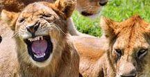 Tansania/Kenia Reisetipps / Es passiert nicht oft, dass man einen Urlaub bucht und drei bekommt. In Tansania geht das: Einen für die riesigen wandernden Tierherden im Weltnaturerbe Serengeti. Einen zweiten für Ngorongoro, den »Gefängniskrater« mit der höchsten Raubtierkonzentration Afrikas. Und einen dritten Urlaub für all die Träume unter flüsternden Palmen an den vorgewärmten Stränden von Sansibar. Mehr können Sie nicht erwarten.