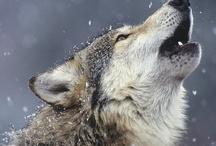 Wolves / by Manuel Martinez Jr.