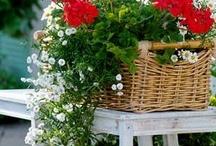 Red & White Geraniums / by Lynda Deccio