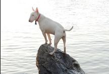 English Bull Terriers / Dogs / by Manuel Martinez Jr.