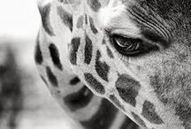 Giraffes / by Ella
