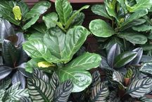 Fiddle Leaf Figs / A great houseplant that adds drama to any room with bright light!  / by Logan Trading Company Logan's