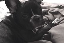 FRENCHIE LOVE / French Bull dogs  / by Shayna Faske
