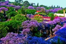 Pretoria, Gauteng, South Africa / Pretoria in South Africa is popularly known as The Jacaranda City due to the thousands of Jacaranda trees planted in its streets, parks and gardens.