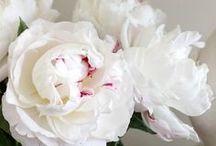 Peonies / My favorite flower of all time! Peonies