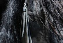 Friesian Crazy / I'm passionate about Friesians! :) We have been blessed with a gorgeous imported Ster Friesian Stallion, Harold v.R. aka Apollo, we stand at stud. Apollo is am Approved breeding stallion the Friesians Horse Registry and the Friesian Sporthorse Association. He's is also an FHS & FSA Approved Breeding Stallion. To learn more please visit http://RoyalGroveStables.com  Thank you! ❤