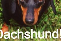 Dachshunds / I love dachshunds. I've been owned by dachshunds for years! Best breed ever  / by Dianne Yantz Everette