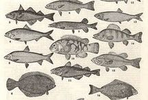 Antique Illustration / by Mimi Fisher