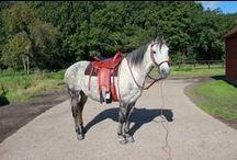 Paso Fino / Paso Fino Horses, including my own