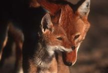 Foxie-woxies / All foxes, both photos and art.