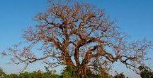 Kapok - für Naturbewusste / Die Kapokfaser aus der Fruchtkapsel vom wildwachsenden Kapokbaum zählt zu den ältesten Polstermaterialien der Welt. Seit tausenden Jahren wird Kapok als Füllung für Matratzen verwendet. Weltweit liegen ca. 3 Milliarden Menschen auf Kapokfüllung.