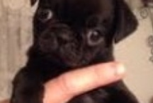 I love Pugs and Puppies