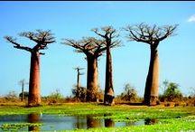 Baobabs and Lemurs / Madagascar