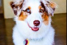 Dogs — Australian Shepherds / #mini #aussie #australian #shepherd #dog #australianshepherds #dogs