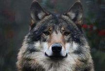Nature - Wolves / by Deni Rosenberry
