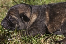 German Shepherd Puppies / Our German Shepherd Puppies / by Wayne Curry