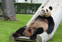 Cool Pandas