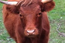 Cool Animals - Cow / I love my cows! / by Tina Sloan
