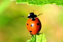 Lady Bird, lady bug... / I've always had a fondness for these little creatures, and been glad to see them in the garden