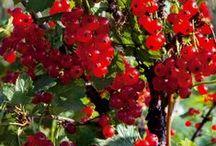 Zahrada-ovocná