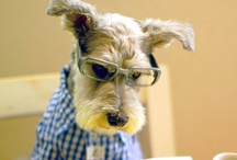 Schnauzers are my dogs