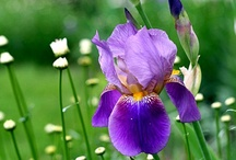 Flowers - Iris / by Tricia Roux