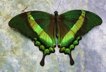Animals - Butterflies, Dragonflies and other insects / by Tricia Roux