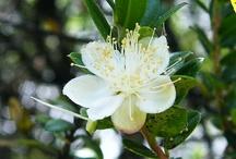 Flowers of Myrtle