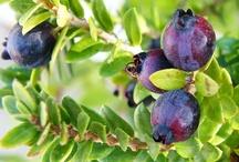 Fruits of Myrtle