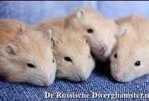 Hamstertjes met Spijkerbroek / Een leuke fotoshoot met een spijkerbroek :) #hamster #dwerghamster #russischedwerghamster