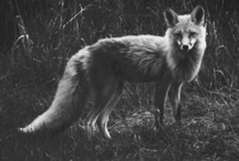 WILY OLD FOX