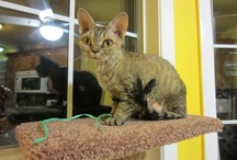 Faye, the Devon Rex Cat / Faye is a retired champion, had kittens and is now living with us in San Diego, with her Golden Retriever brothers. Devons are loving, curious and beautiful animals.