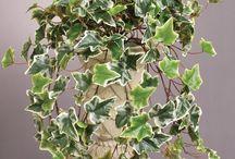 Hedera Ivy