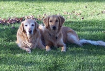 *Golden Retrievers* / by Julie Kidder