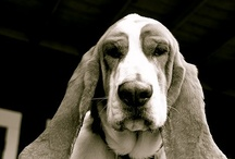 Basset hounds / by Stephanie Johnson-Woolley