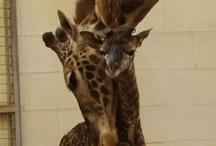 Giraffe Jelly / by Dreme Davis