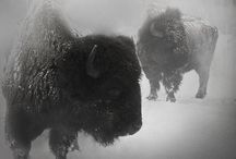 Bison / by Stephanie Johnson-Woolley