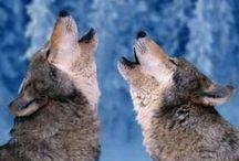 photografie loups/ fotografie wolven/ wolfs photografy / by Sylvie Hemeleers Mistic Photografie
