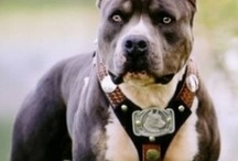 For Pittie Sake! / If you don't love the pitbull breed it's because you've never owned one!