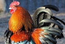 ✿ Chickens ✿