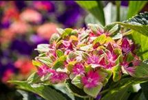 Brand Power: Bloomin' Easy / Branded plants have more than just a cool name or fancy marketing behind them - they have unique characteristics, superior genetics, and let's face it - they're new and hot! See http://bloomineasyplants.com for more!