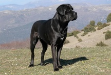 Big Dogs / This board will feature photos of big and large dogs of all breeds.
