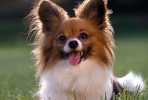 Small Dogs / Photos of small dogs, also called Toy Dogs.