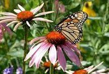 Perhoset ja hyönteiset puutarhassa - Butterfly garden