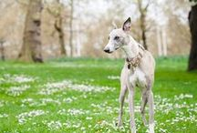 Whippets ! / Vos meilleurs amis