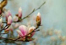 Plants [Magnolia]