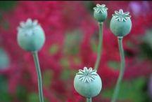 Plants [Poppy]