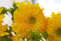 ~sunflowers~ / by Theresa Fulgoni-Chittock