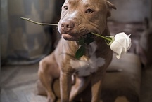 ~CUTE PITTBULLS~